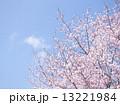 桜(空バック) 13221984