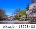 東京 井の頭公園の桜 13223488