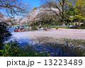 東京 井の頭公園の桜 13223489