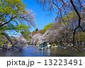 東京 井の頭公園の桜 13223491