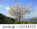 余呉湖のヤマザクラ 13234223