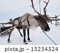 フィンランドのトナカイ 13234324