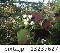 ナンキンハゼ 蝋状物質 種の写真 13237627