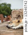インド 遺跡の犬 13240742