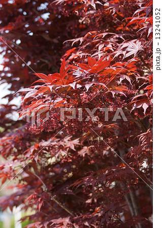もみじ 品種は猩々野村(ショウジョウノムラ) 若葉も赤紫です。 13241052