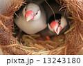 巣の中の鳥 13243180