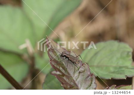 生き物 昆虫 トウキョウヒメハンミョウ、名前の通り東京近郊など数か所でしか見られないそうです。知らなかった・・・ 13244654