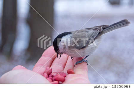 tit bird sitting on hand in the winter 13256963