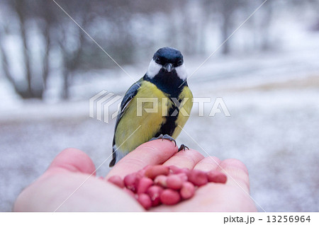 tit bird sitting on hand in the winter 13256964
