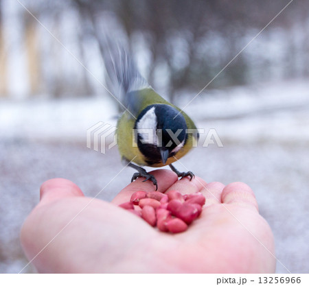 tit bird sitting on hand in the winter 13256966