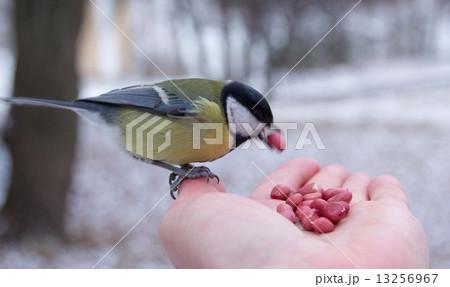 tit bird sitting on hand in the winter 13256967