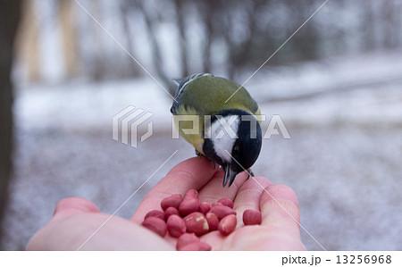tit bird sitting on hand in the winter 13256968