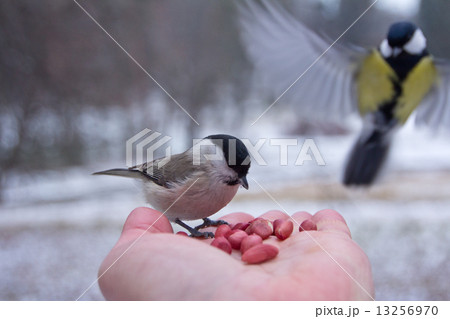 tit bird sitting on hand in the winter 13256970