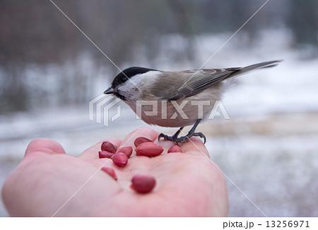 tit bird sitting on hand in the winter 13256971