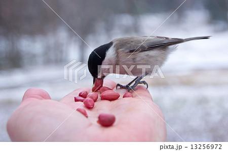 tit bird sitting on hand in the winter 13256972