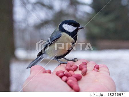 tit bird sitting on hand in the winter 13256974