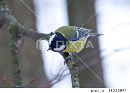 tit bird sitting on a branch 13256975