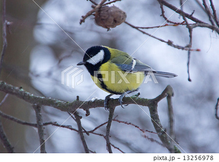 tit bird sitting on a branch 13256978