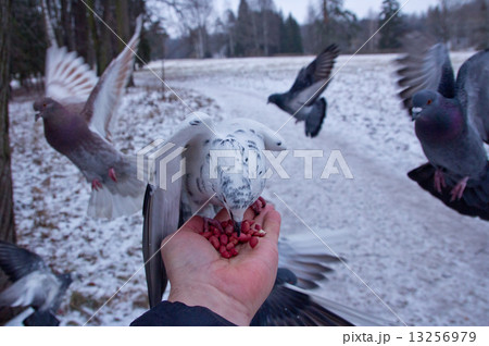 Pigeons peck nuts sitting on a hand 13256979