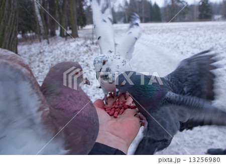 Pigeons peck nuts sitting on a hand 13256980