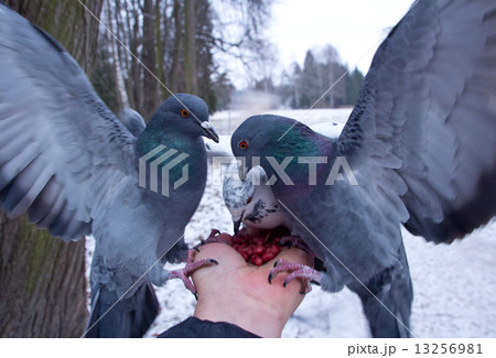 Pigeons peck nuts sitting on a hand 13256981