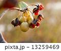 種 トベラ 実の写真 13259469