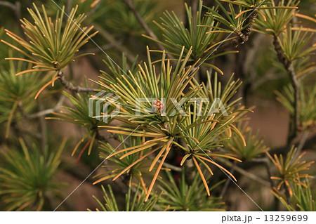 自然 植物 コウヤマキ、別名『ホンマキ』一属一種の植物で『マキ』や『イヌマキ』とは別属です 13259699