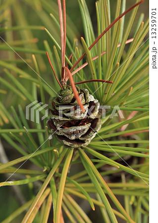 自然 植物 コウヤマキ、実です。松ぼっくりにそっくりですがなぜか実の先から葉が出ています 13259701