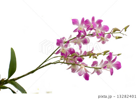Purple orchid isolated on white backgroundの写真素材 [13282401] - PIXTA