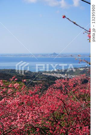 八重岳の桜 13295900