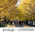 銀杏並木 昭和記念公園 黄葉の写真 13300300
