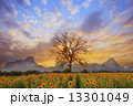 beautiful landscape of dry tree branch and sun flowers field against colorful evening dusky sky use  13301049