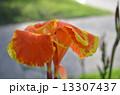 ハナ 花 お花の写真 13307437