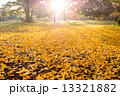 日差し 銀杏 公園の写真 13321882