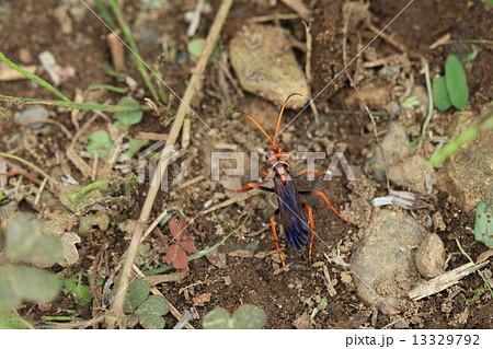 生き物 昆虫 モンクモバチ、巣穴をほる場所を探しています。条件が厳しいのか方々歩き回っていました 13329792