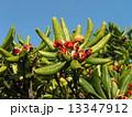トベラ 種 実の写真 13347912