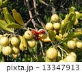 トベラ 種 実の写真 13347913