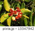 トベラ 種 実の写真 13347942