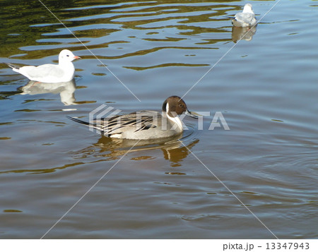 稲毛海浜公園の池に泳ぐ冬の渡り鳥オナガガモとユリカモメ 13347943