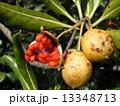 トベラ 種 実の写真 13348713