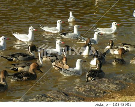 稲毛海浜公園の池に泳ぐ冬の渡り鳥オナガガモとユリカモメ 13348905