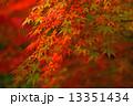 カエデ 秋 紅葉の写真 13351434