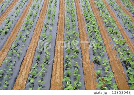 与論島のサトイモ畑 13353048