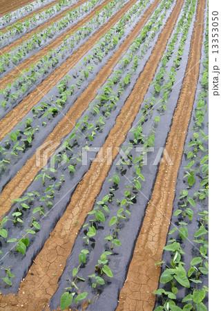 与論島のサトイモ畑 13353050