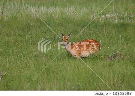 戦場ヶ原の鹿 13358698
