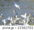 オナガガモ ユリカモメ 野鳥の写真 13362703