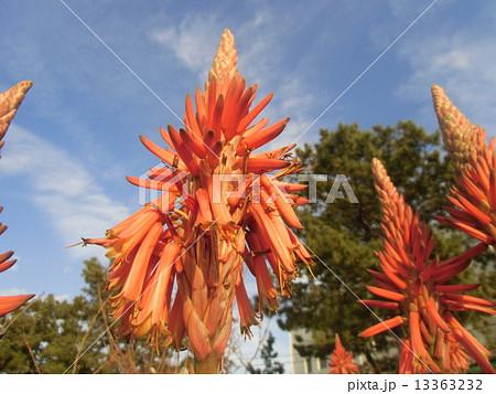 筒状の花を紡錘状に咲かす医者要らずキダチアロエの花 13363232