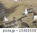 稲毛海浜公園の池に飛来した冬の渡り鳥ユリカモメとオナガガモ 13363558