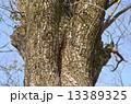 エノキ(榎) 13389325