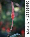 アロエの花 13393640